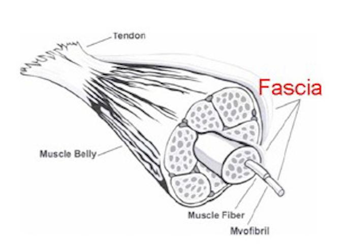 fascia-diagram